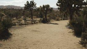 Marche par les arbres de Joshua dans le désert banque de vidéos