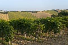 Marcheert (Italië) - Landschap bij de zomer: wijngaarden Royalty-vrije Stock Foto's