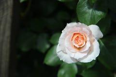 Marchenrosen steg Arkivfoto