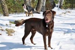 Marchent le chien Image libre de droits