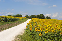 Marches (Italy) - Country road and sunflowers Royalty Free Stock Photos