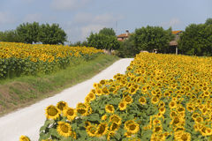 Marches (Italy) - Country road and sunflowers. Marches (Italy) - Landscape at summer, farm Stock Image