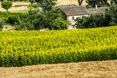 Marches (Italy) - Farm. Farm, farmhouse and sunflowers field near Ancona (Marches, Italy) at summer Royalty Free Stock Images