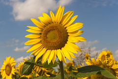 Marches (Italy) - Field of sunflowers Royalty Free Stock Images