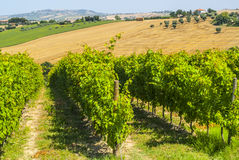 Marches (Italy) - Landscape. Marches (Italy) - Vineyards and landscape at summer between Macerata and Ancona Stock Photos