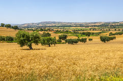 Marches (Italy) - Landscape. Marches (Ancona, Italy) - Landscape with wheat fields and olive trees at summer Royalty Free Stock Photo
