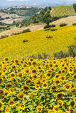 Marches (Italy), Landscape. Marches (Italy) - Landscape with sunflowers near Fermo and Monterubbiano at summer Stock Photography