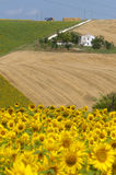 Marches (Italy) - Landscape at summer. With sunflowers, farm Royalty Free Stock Photography