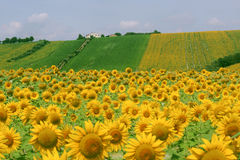 Marches (Italy) - Landscape at summer. With sunflowers, farm Royalty Free Stock Image