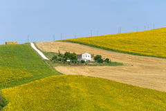 Marches (Italy) - Landscape at summer. With sunflowers, farm Stock Photography