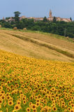 Marches (Italy) - Landscape at summer. With sunflowers Stock Photography