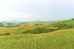 Marches (Italy) - Landscape at summer. With sunflowers Royalty Free Stock Images