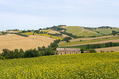 Marches (Italy) - Landscape at summer. With sunflowers, farm Royalty Free Stock Images