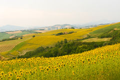 Marches (Italy) - Landscape at summer. With sunflowers Stock Image