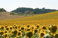Marches (Italy) - Landscape at summer. With sunflowers, farm Royalty Free Stock Photos