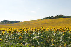 Marches (Italy) - Landscape at summer. With sunflowers, farm Stock Photo
