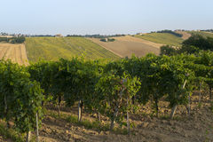 Marches (Italy) - Landscape at summer: vineyards. And other cultures Royalty Free Stock Photos