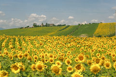 Marches (Italy) - Landscape with sunflowers. Marches (Italy) - Landscape at summer with sunflowers, farm Stock Photography