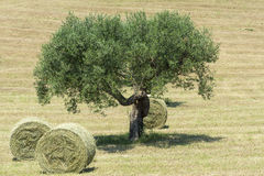 Marches (Italy): olive tree Stock Photography