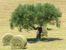 Marches (Italy): olive tree Royalty Free Stock Images