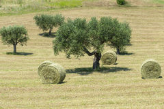 Marches (Italy): olive trees Stock Photos