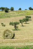 Marches (Italy): olive trees Royalty Free Stock Photography