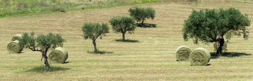 Marches (Italy): olive trees Royalty Free Stock Images