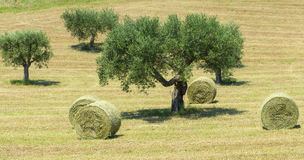 Marches (Italy): olive trees Royalty Free Stock Image