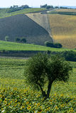 Marches (Italy): summer landscape. Country landscape between Jesi and Ostra (Ancona, Marches, Italy) at summer Stock Image