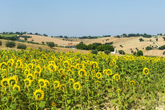 Marches (Italy): summer landscape. Country landscape between Jesi and Ostra (Ancona, Marches, Italy) at summer Royalty Free Stock Photo