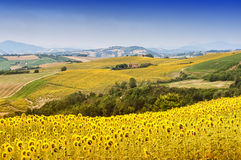 Marches (Italy): summer landscape. Marches (Italy) - Landscape at summer with sunflowers Stock Photography
