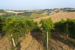Marches (Italy) - Vineyards. Marches (Italy) - Landscape at summer: vineyards royalty free stock photo