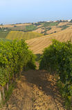 Marches (Italy) - Vineyards. Marches (Italy) - Landscape at summer: vineyards Stock Photography