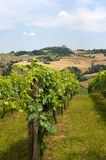 Marches (Italy) - Vineyards Royalty Free Stock Images