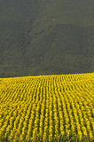 Marches, landscape at summer. Marches (Italy), near Fabriano: landscape at summer with sunflowers Royalty Free Stock Images