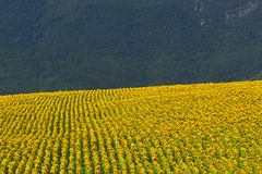 Marches, landscape at summer. Marches (Italy), near Fabriano: landscape at summer with sunflowers Royalty Free Stock Photo