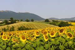 Marches, landscape at summer. Marches (Italy), near Fabriano: landscape at summer with sunflowers Stock Image