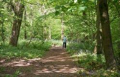 Marcheur de chien dans la région boisée anglaise de jacinthe des bois Images stock
