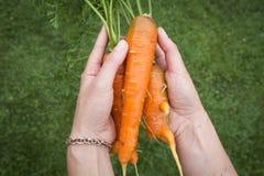 marchew świeżego organiczne Obrazy Royalty Free