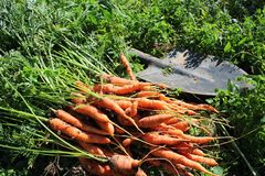 marchew świeżo po Fotografia Stock