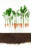 marchew Roślina i ziemia odizolowywający na białym tle obrazy royalty free
