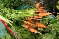 marchewek chard ogródu szwajcar Zdjęcie Stock