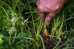 marchewek zbierać Zdjęcie Royalty Free