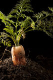 marchewka zasadzająca ziemia Fotografia Stock