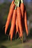 marchewki organicznie świeży Obrazy Stock