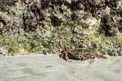 Marchez en crabe le rampement sur la plage de sable près des roches à l'arrière-plan 3 de nature de l'Oman Salalah images libres de droits