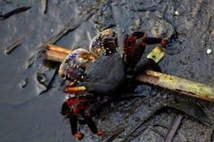 Marchez en crabe en mâchant la tige d'herbe dans un étang pollué à Lagos Nigéria Photographie stock libre de droits