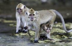Marchez en crabe en mangeant des singes de fascicularis de Macaca de macaque sur la plage Photos libres de droits