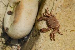 Marchez en crabe sur un stone.beach de Pechon, la Cantabrie, Espagne Photographie stock libre de droits