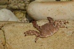 Marchez en crabe sur un stone.beach de Pechon, la Cantabrie, Espagne Photographie stock